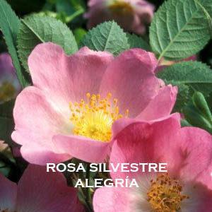 Meditación-Inducción de energía Rosa Silvestre- Alegría