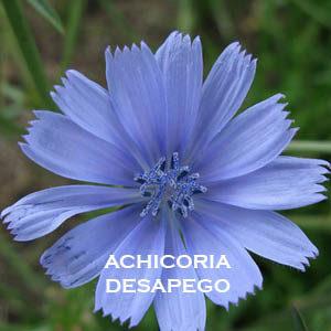 ACHICORIA-DESAPEGO