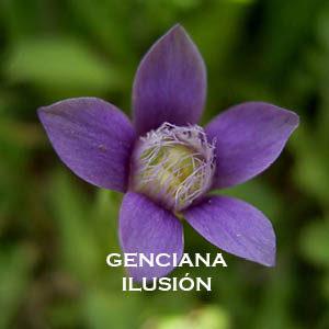 Genciana-Ilusión