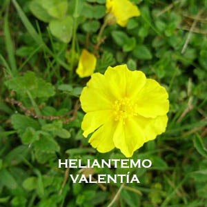 HELIANTEMO-VALENTÍA