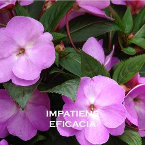 Impatiens-Eficacia